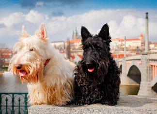 pareja-de-perros-de-raza-Terrier-Checo
