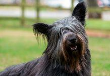 perro-Skye-Terrier