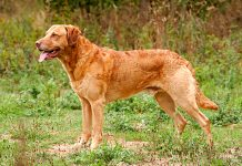 perro-de-raza-Retriever-de-Chesapeake