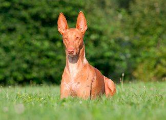perro-del-faraón-tumbado-sobre-la-hierba