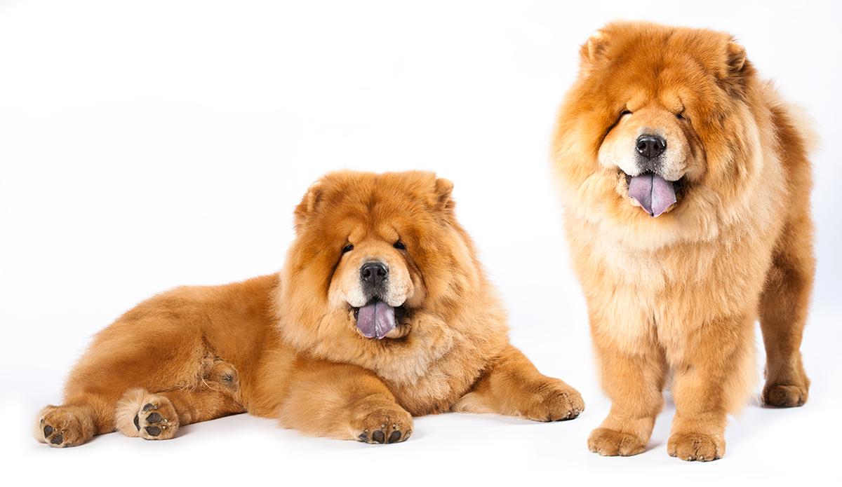 pareja-de-perros-Chow-Chow