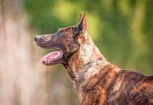 perro-de-raza-Pastor-Holandés