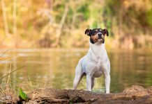 perro-Ratonero-valenciano