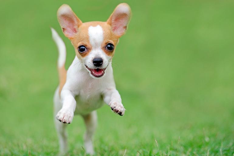perro-chihuahua-corriendo