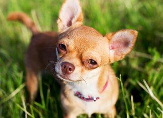 perro-de-raza-chihuahua