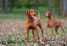 perros-cazando