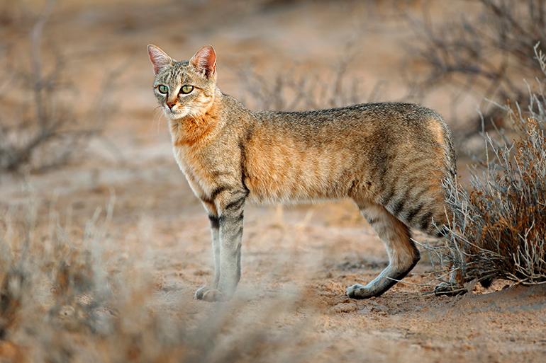 Resultado de imagen de gato montes