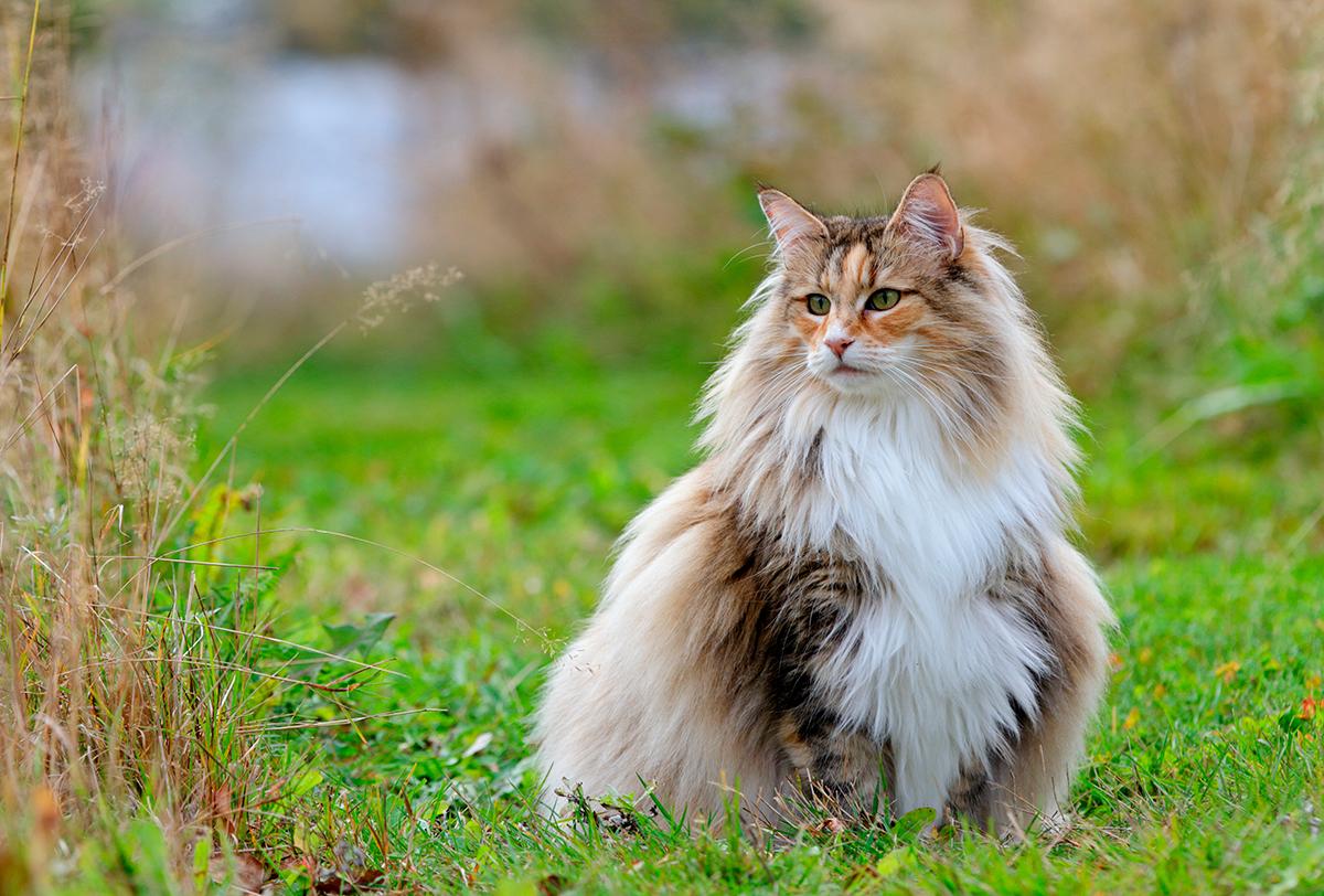 El Gato Bosque De Noruega Guía Completa De La Raza