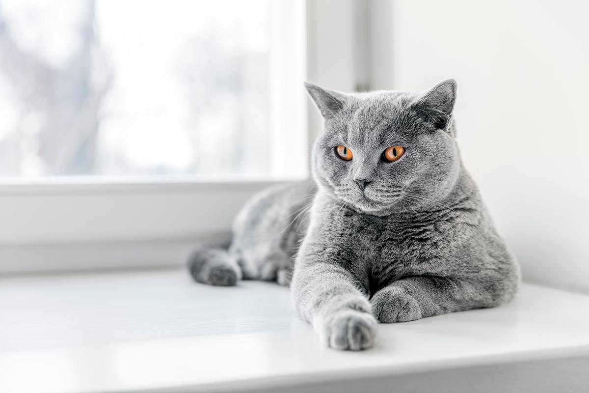 El gato British shorthair   Carácter, comportamiento y cuidados