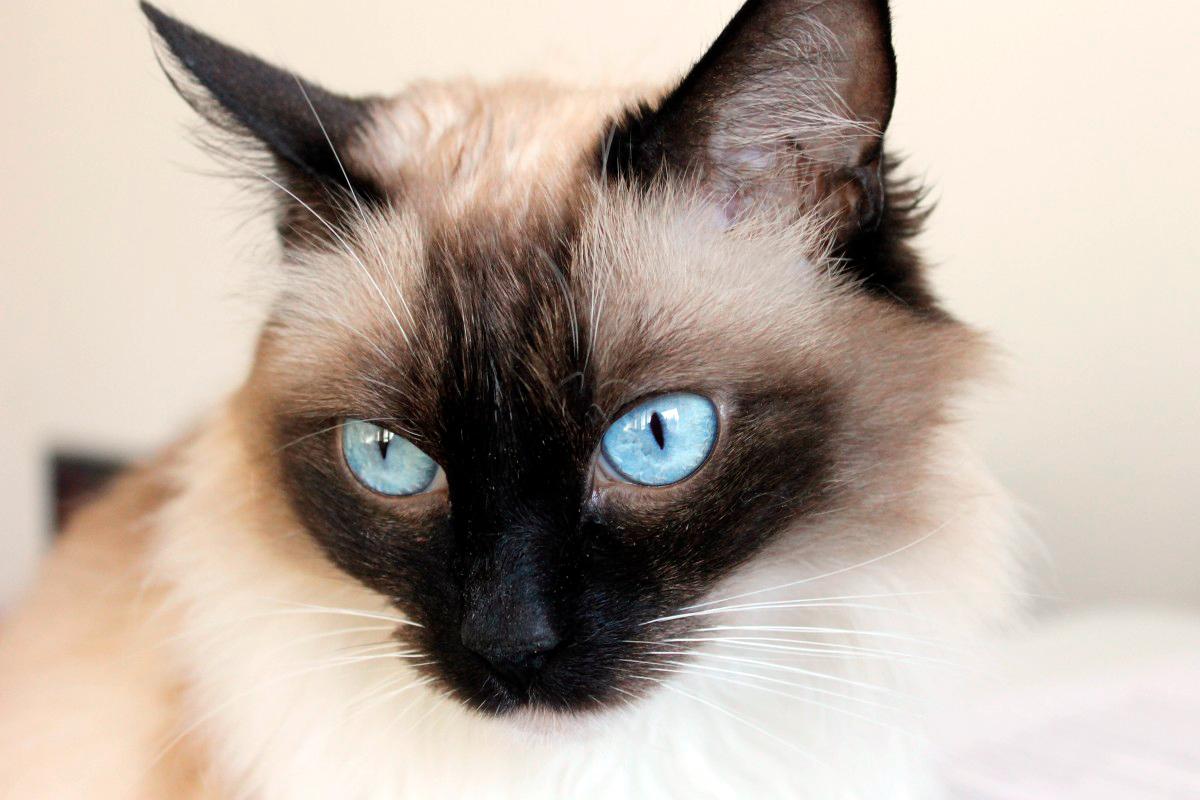El gato Snowshoe   Temperamento y cuidados