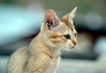 gato-singapura