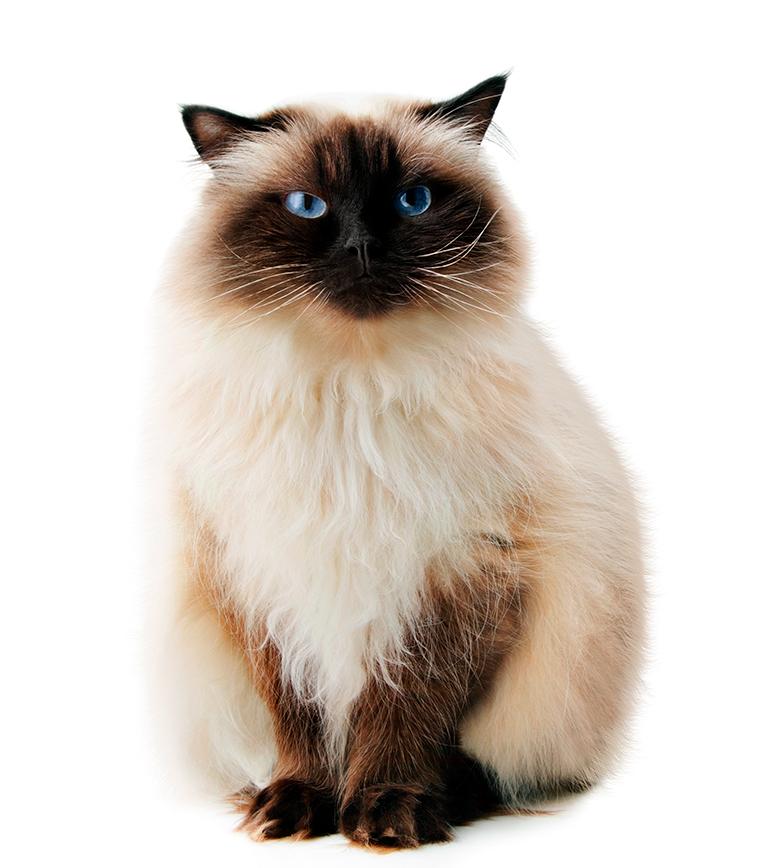 características-del-gato-himalayo