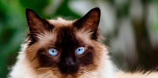 gato-himalayo