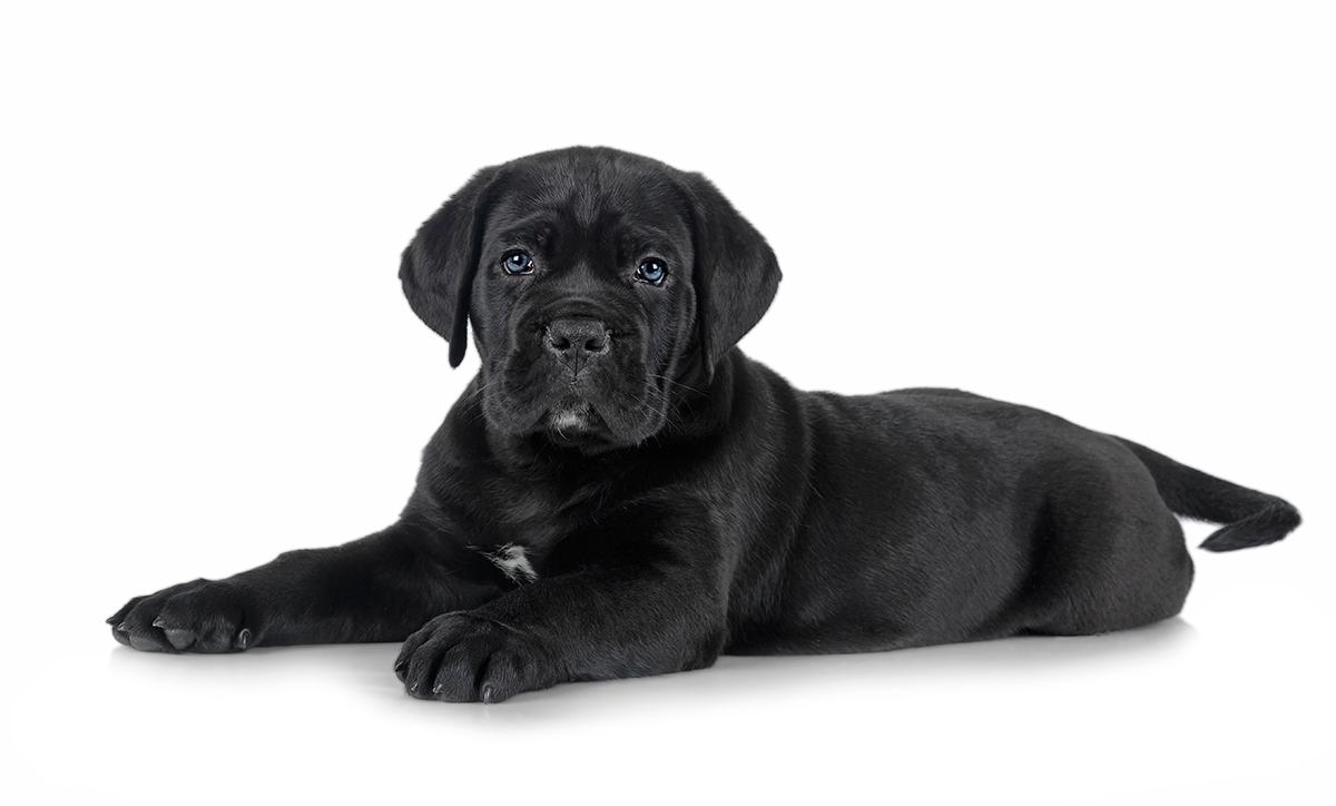 cachorro-negro-de-cane-corso