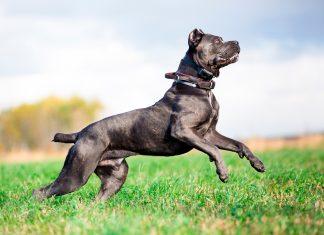 cane-corso-saltando