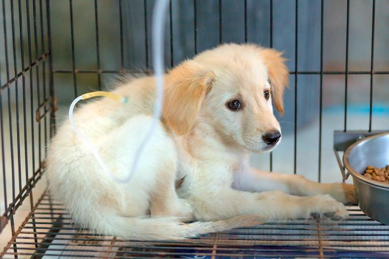 cachorro-con-posible-moquillo-en-observación