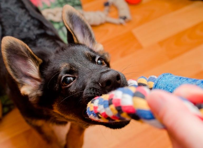 cachorro-de-pastor-alemán-jugando-con-un-mordedor