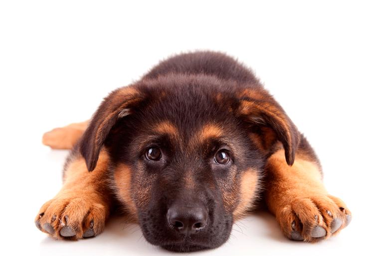 cachorro-de-raza-pastor-alemán