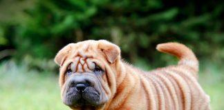 cachorro-de-shar-pei-atento