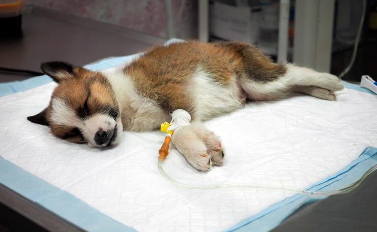cachorro-enfermo-en-hospital-veterinario