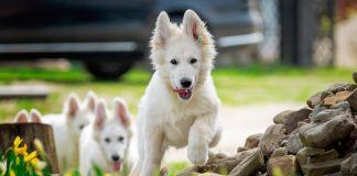 cachorros-de-pastor-suizo-corriendo