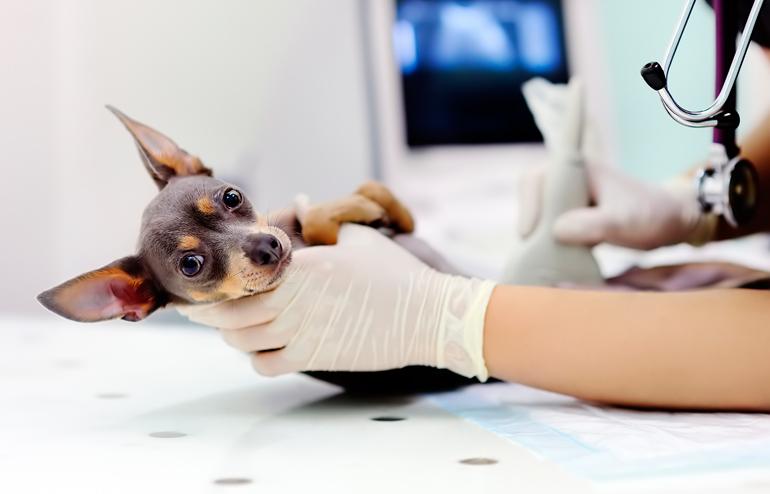 detección-de-piometra-en-clinica-veterinaria
