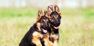 dos-cachorros-de-pastor-aleman-jugando