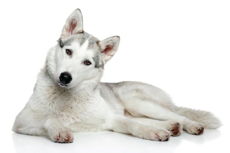 husky-siberiano-tumbado
