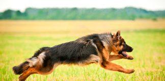 pastor-alemán-en-el-campo