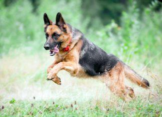 pastor-alemán-saltando
