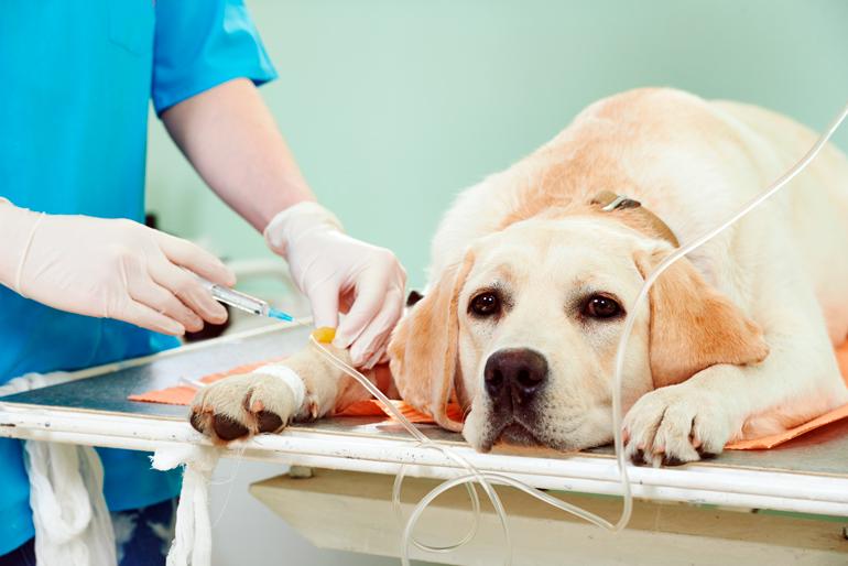 perrita-con-infeccion-recibiendo-tratamiento-intravenoso
