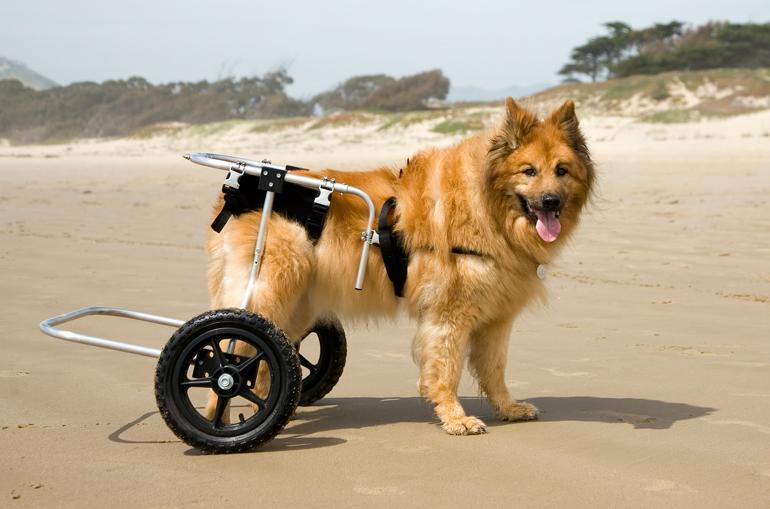 perro-con-displasia-de-cadera-y-adaptador-con-ruedas