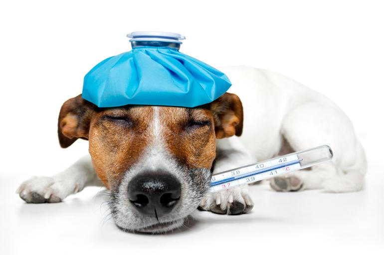 perro-con-fiebre