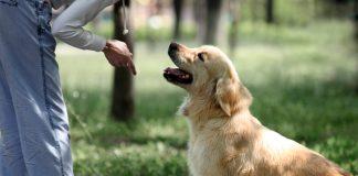 perro-obedeciendo-orden-de-sentarse