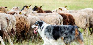 perro-pastoreando-ovejas