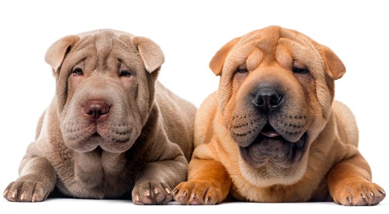 perros-shar-pei-de-dos-colores